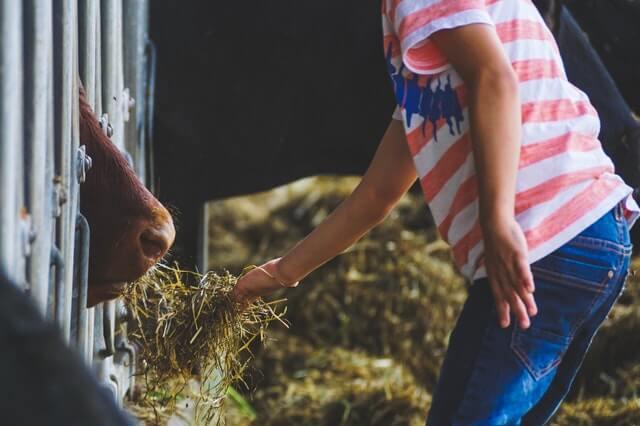 kŕmenie dobytka