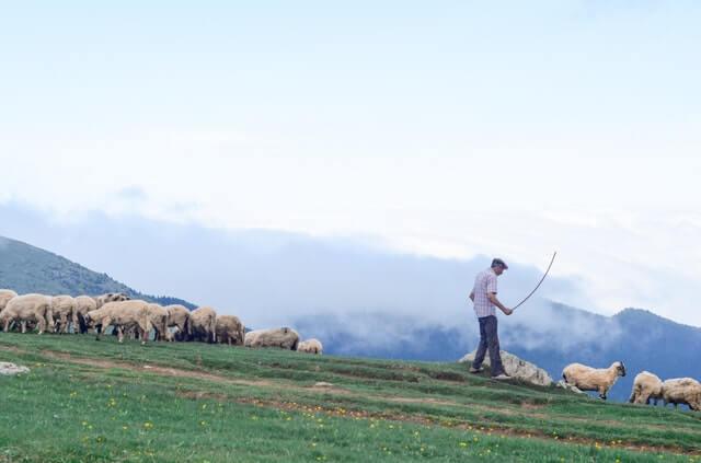 ovčiar s ovcami