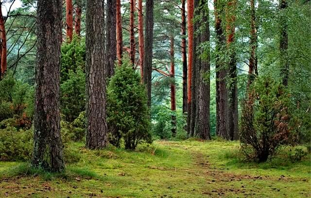 borovicový les