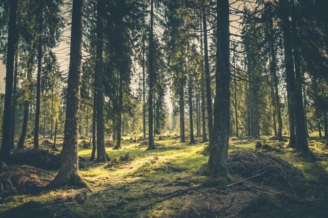 ihličnatý les